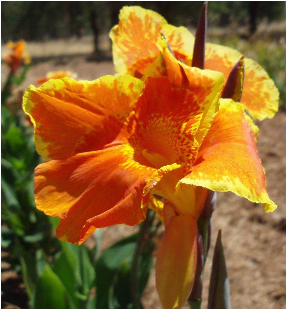 Canna Lily Bulbs Flower Plant